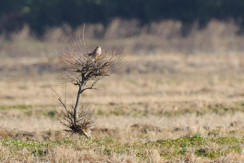 冬の内陸の野鳥(ハイイロチュウヒ、コクマルガラズ、ミヤマガラズ、ベニマシコ、コチョウゲンボウ)_d0099854_024987.jpg
