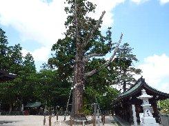 吉備津彦神社の平安杉(備前国)_a0004391_2349180.jpg