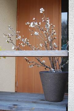 玄関廻りの春…_c0124100_22933.jpg