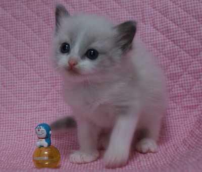 ラグドール子猫 ビーンちゃん子・エルちゃん子・ジョイちゃん子_e0033609_15293074.jpg