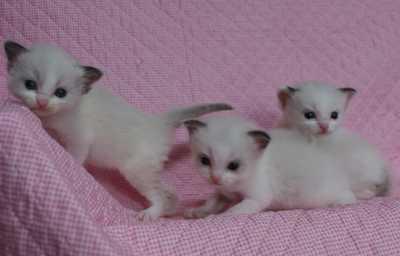 ラグドール子猫 ビーンちゃん子・エルちゃん子・ジョイちゃん子_e0033609_15343262.jpg