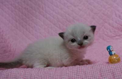 ラグドール子猫 ビーンちゃん子・エルちゃん子・ジョイちゃん子_e0033609_15373773.jpg