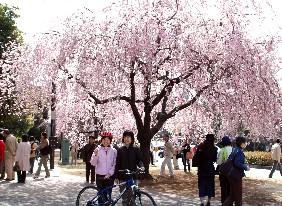 都心の桜めぐり 3/28(日)に増発_c0047856_10164946.jpg