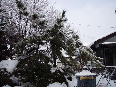 春まだ遠し・・・(その四)・・松の木折れだー!_b0074601_22122022.jpg
