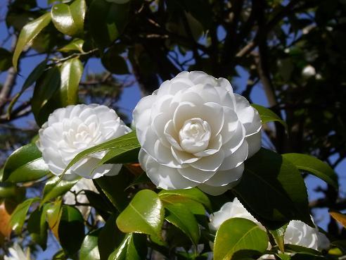 茅ヶ崎、氷室椿庭園_c0192215_2232153.jpg
