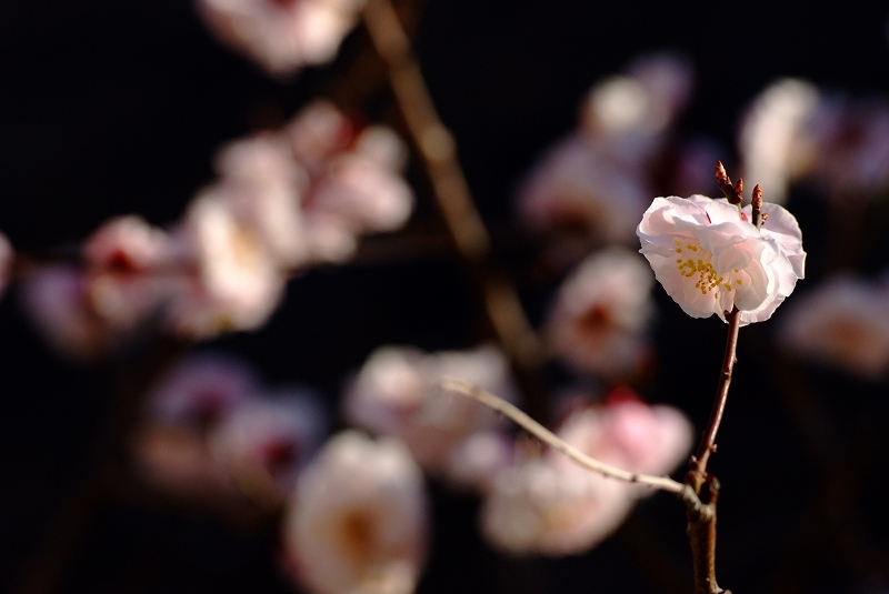 梅が香る朝になりました_f0050534_7585177.jpg
