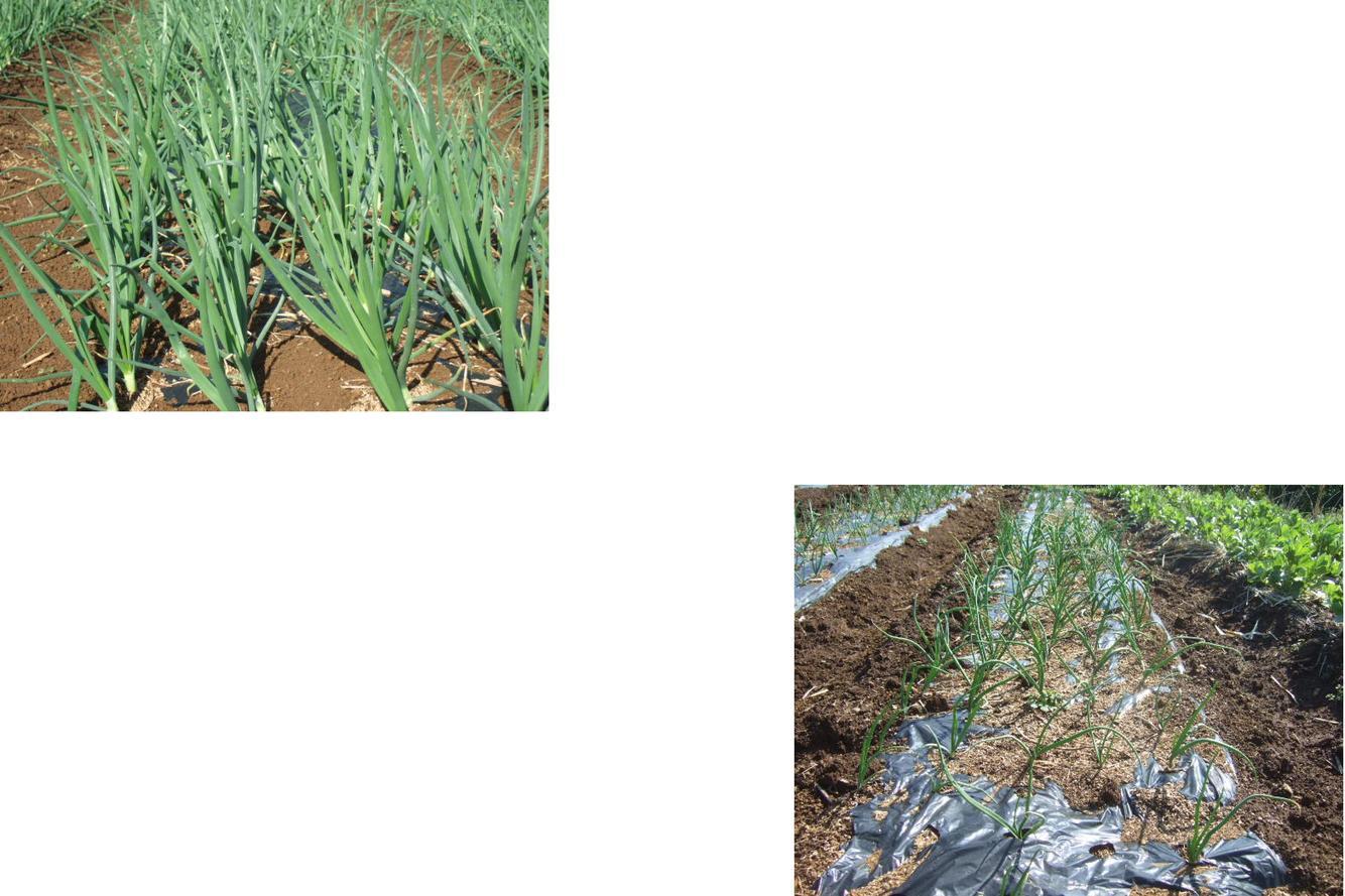 プロ農家と素人菜園....こんなに違う!_b0137932_22312956.jpg