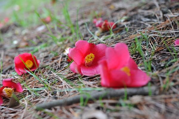 落ちてる椿の花♪ : ほっとひと息...