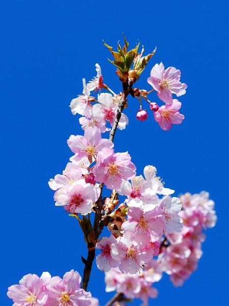 いせさき市民の森公園の河津桜_c0177814_11564594.jpg