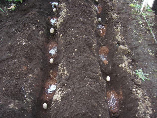ジャガイモを植え付けました_c0053863_16161364.jpg