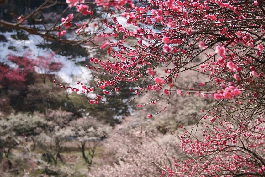 梅にうっとり。_b0027781_21372420.jpg