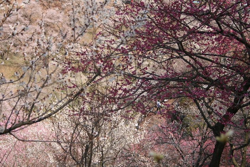 梅にうっとり。_b0027781_2138544.jpg