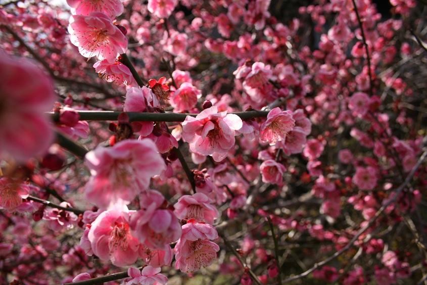 梅にうっとり。_b0027781_21434226.jpg