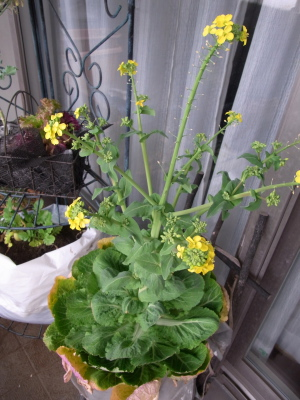 ++白菜で花見++_e0140921_13331894.jpg