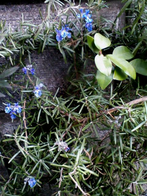 春の訪れはローズマリーから_c0206645_16151584.jpg
