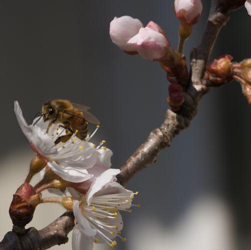 サクランボの花に蜂がブンブン飛んでます。_d0148902_19361767.jpg