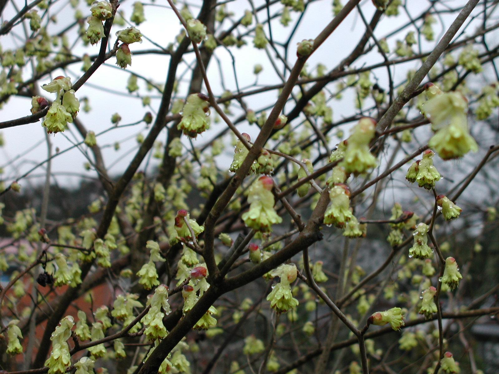 梅は満開・・・・春花も咲き始めました・・・・・_f0201562_1292944.jpg