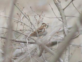 """野に山に春を告げる鳥""""ホオジロ""""_b0120968_21314334.jpg"""