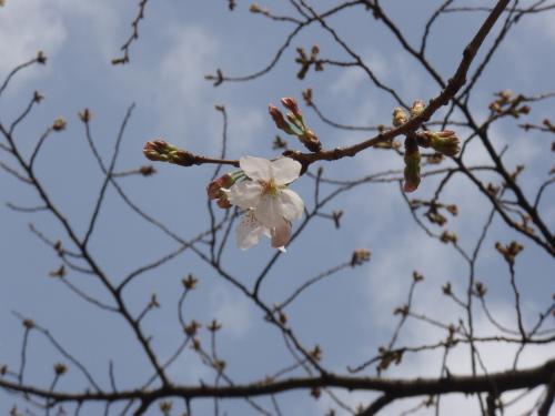 山王公園の桜ちょびっと咲く_a0077071_16555666.jpg