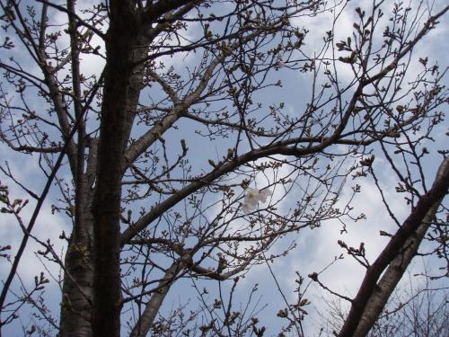 山王公園の桜ちょびっと咲く_a0077071_16575872.jpg