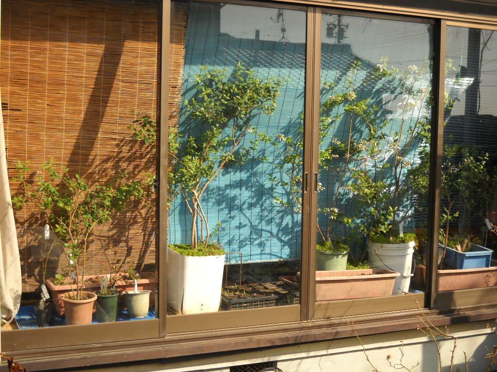 屋内栽培のブルーベリーの搬出_f0018078_18182019.jpg