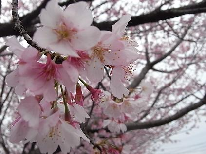 寒桜♪_b0105897_22191642.jpg