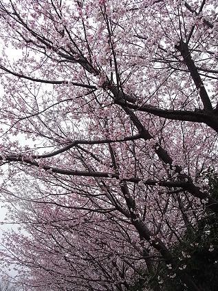 寒桜♪_b0105897_22203684.jpg