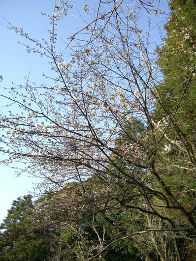 高良大社の桜_d0116009_22585776.jpg