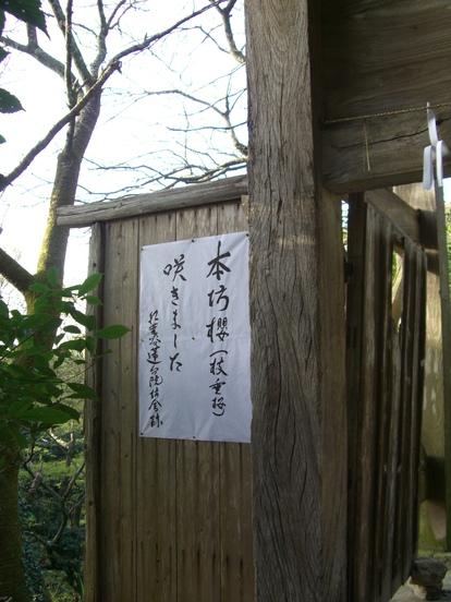 高良大社の桜_d0116009_2318712.jpg
