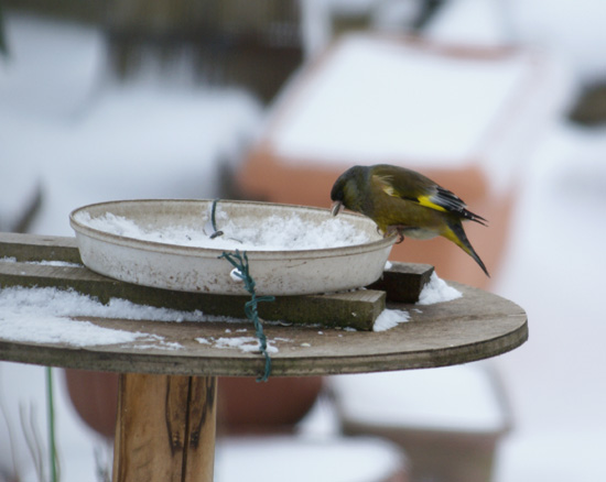 吹雪です  ヒヨドリ・スズメ・カワラヒワ♪_a0136293_16185543.jpg
