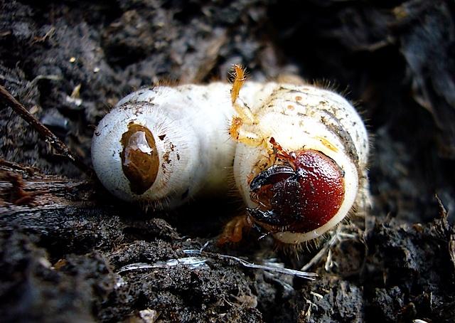 カブトムシの幼虫ごろごろ_f0141559_19265920.jpg