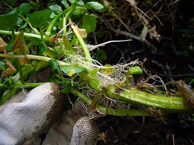 カブトムシの幼虫ごろごろ_f0141559_19353177.jpg