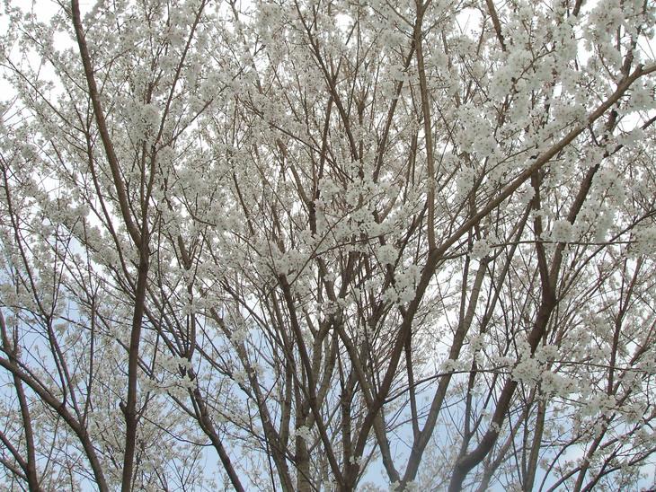 桜満開  _d0141987_22424142.jpg