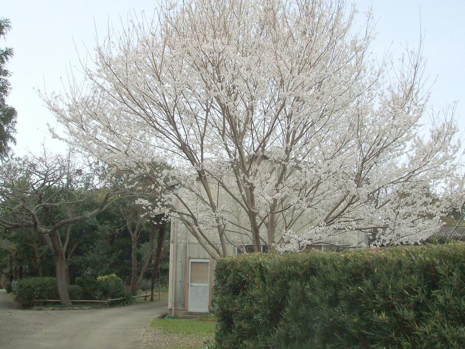 桜満開  _d0141987_224245.jpg