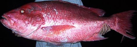 日本語→英語翻訳は進化したとはいえ・・・。「the deep-sea bass」???_e0188087_22452750.jpg