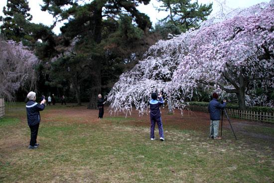 京都御苑 糸しだれ桜2_e0048413_2215020.jpg