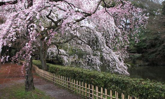 京都御苑 糸しだれ桜2_e0048413_22152157.jpg