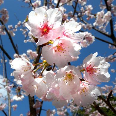 桜_e0126548_2031897.jpg