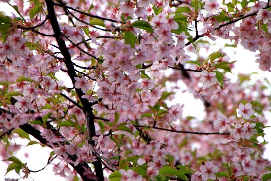 平野神社の桜 1_e0048413_16542016.jpg