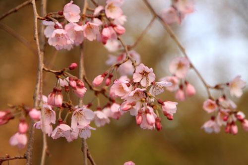 平野神社の桜 1_e0048413_16543754.jpg