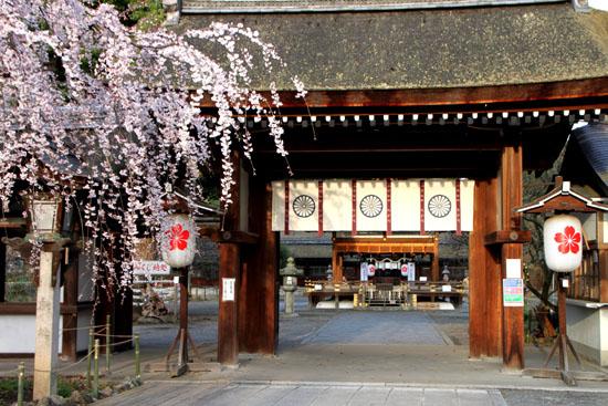 平野神社の桜 2、魁さくら_e0048413_17201231.jpg