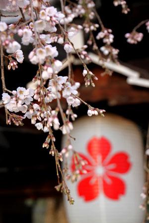 平野神社の桜 2、魁さくら_e0048413_17204632.jpg