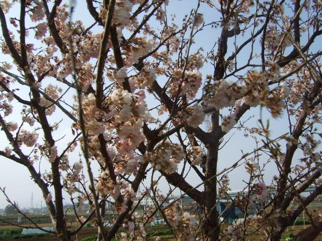 彼岸桜満開の.....お彼岸!_b0137932_19181687.jpg