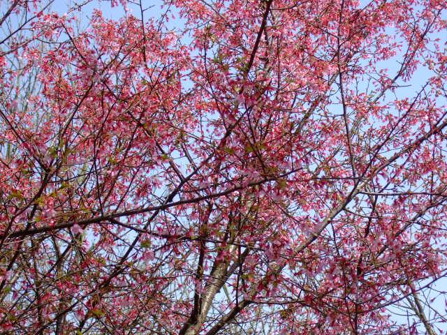 彼岸桜満開の.....お彼岸!_b0137932_19194435.jpg