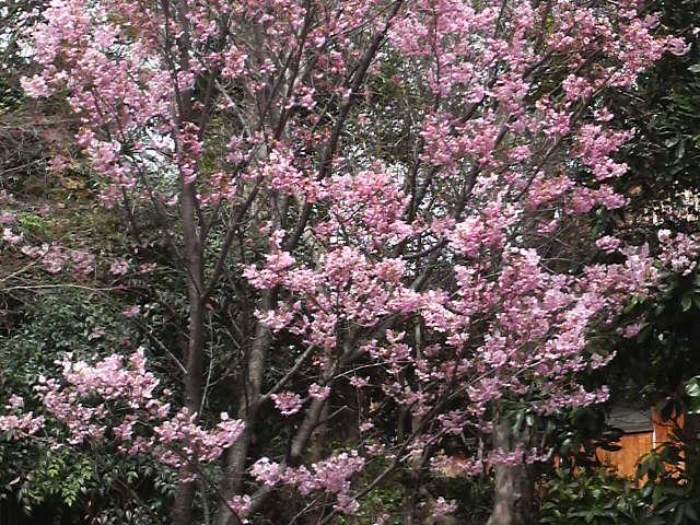 総持寺の桜_c0185356_12181589.jpg