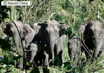パンダより少ない!中国の野生ゾウ生存頭数わずか300頭_b0052564_2121682.jpg