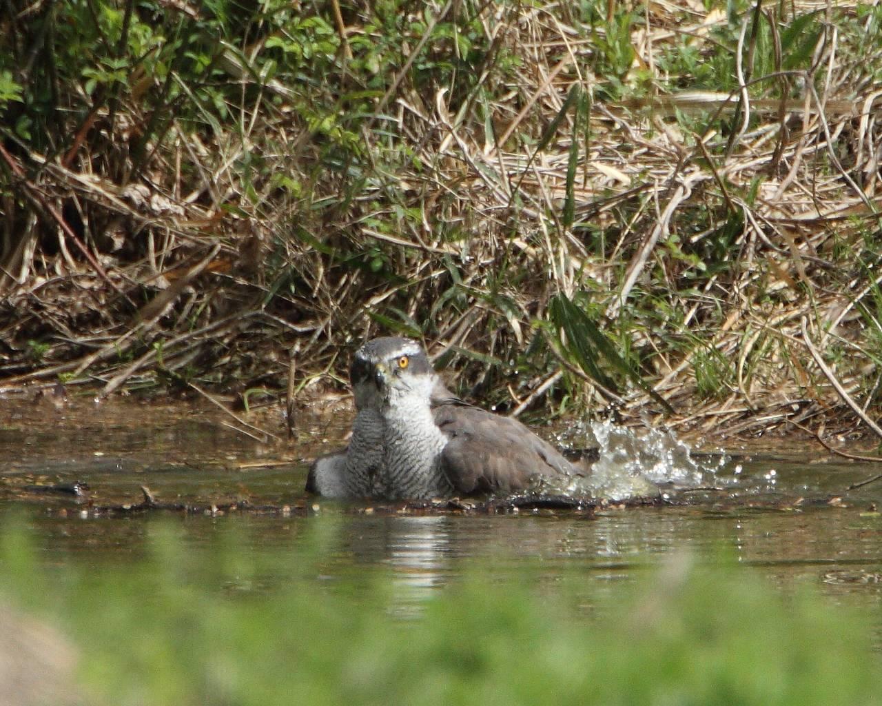 オオタカ成鳥の水浴び_f0105570_2155957.jpg