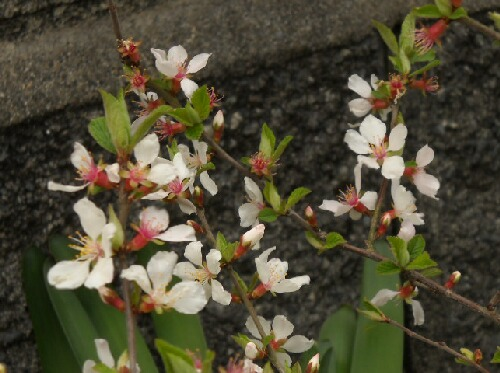 ユスラウメの花、びっくりグミの蕾 _f0018078_1971450.jpg