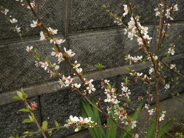 ユスラウメの花、びっくりグミの蕾 _f0018078_1973792.jpg