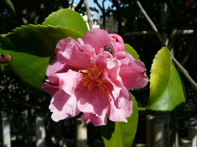 氷室椿庭園の椿・その1_e0145782_19184450.jpg